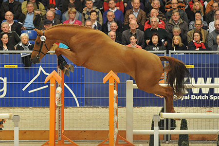 Cavallo C, one of the flashy sons of Tangelo v-d Zuuthoeve at the 2010 KWPN stallion show